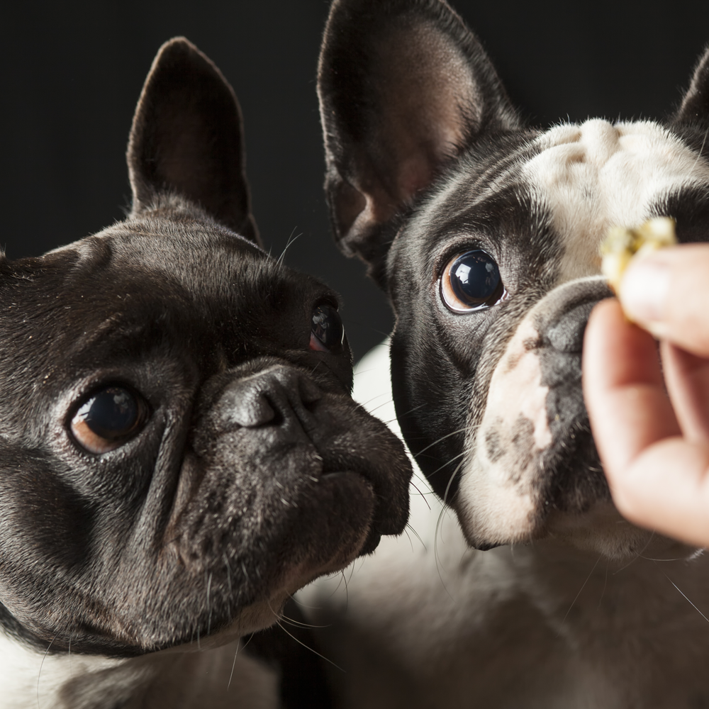 French bulldogs waiting for their treats